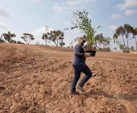 שתיל צמח צמחיה שיח קקל החלה בשיקום נופי באזור הדרום 6